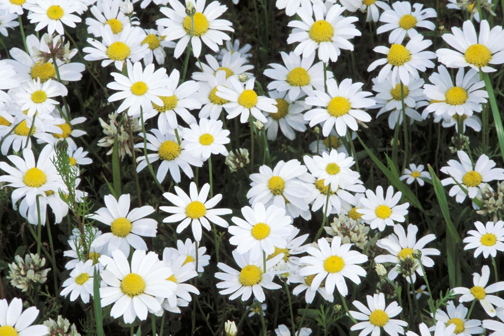 Corn chamomile or field chamomile anthemis arvensis annual the corn chamomile also known as field chamomile a mass of daisy like white flowers with yellow centres appears on this plant from late may to september izmirmasajfo Choice Image