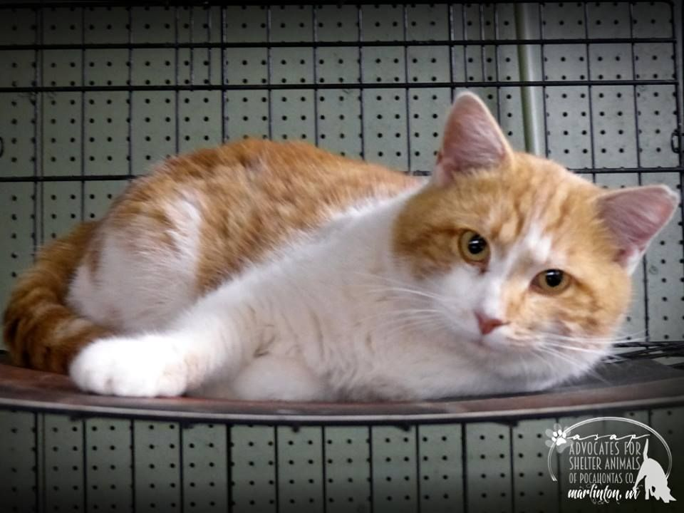 RESCUED!DENVER is a male shorthair who is urgently in