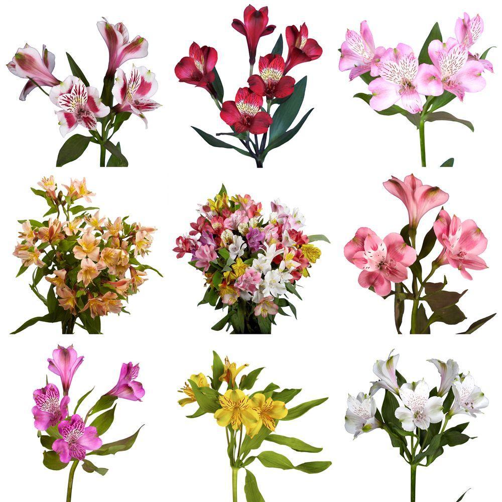 Fresh Alstroemeria Flowers 80 Stems 320 Blooms In 2020 Blooming Plants Flowers Blooming Flowers