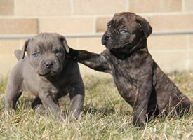 Cane Corso Puppies Available For Sale In Ohio Cane Corso Puppies Cute Dogs And Puppies Puppies