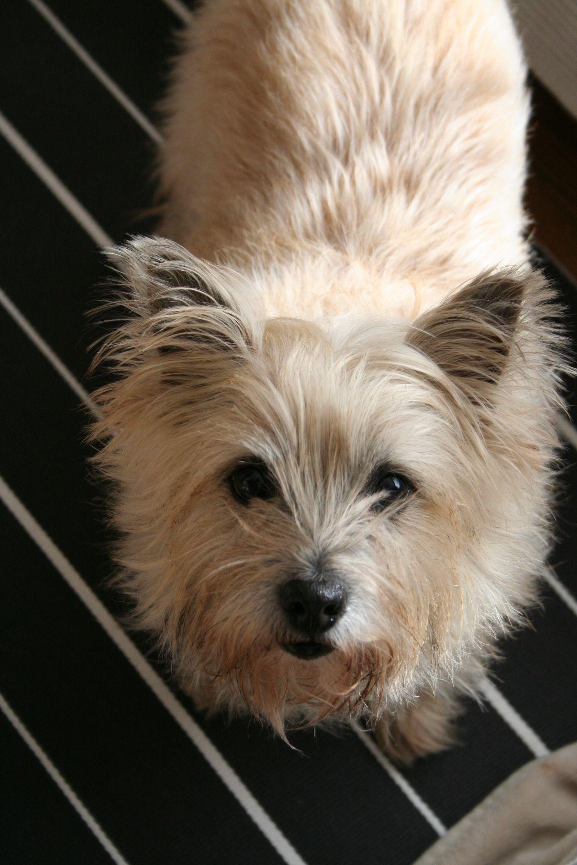 Nicole The Cairn Dog Cairnterrier Terrier Cairn Terrier