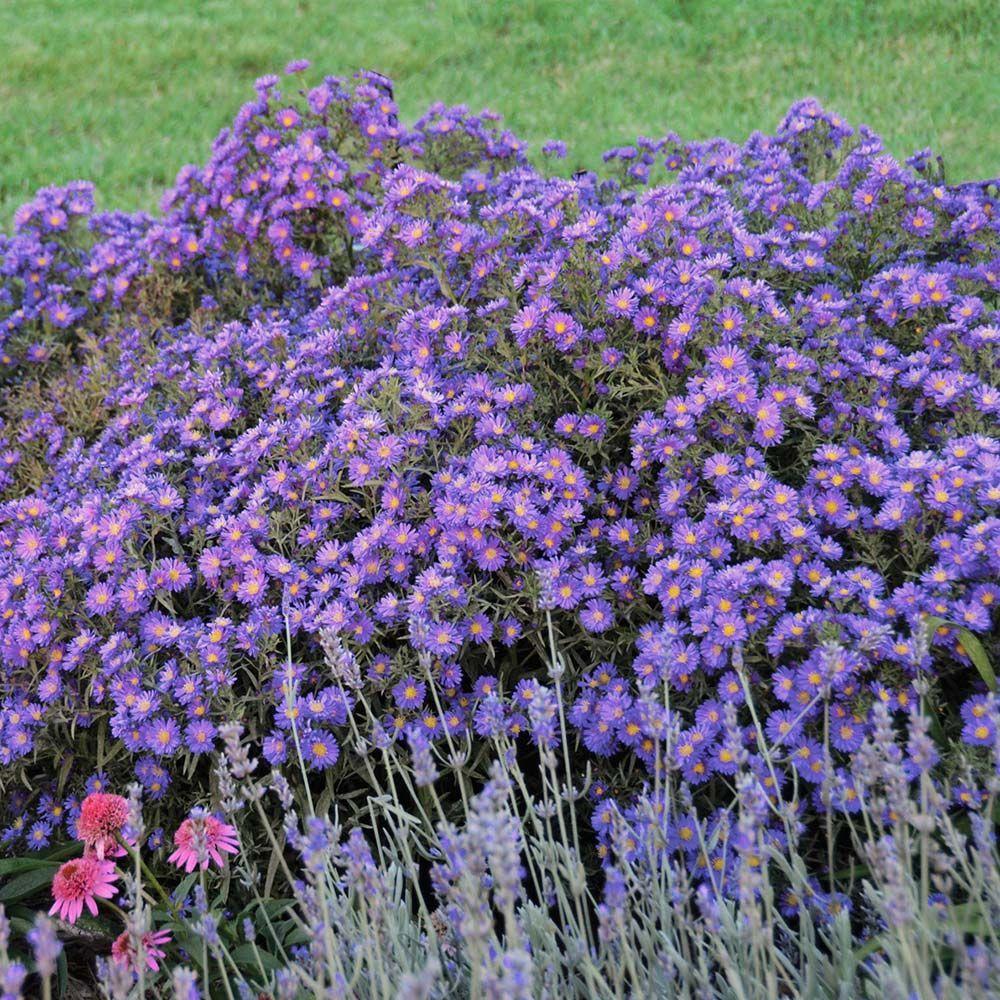 Aster kickin purple aster plants and gardens gardens izmirmasajfo Images