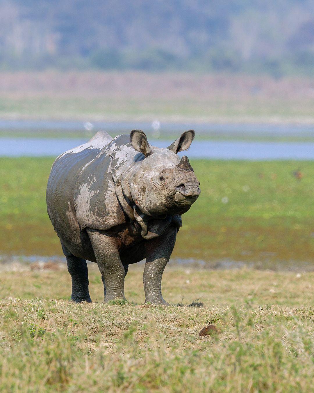 Indian One horned Rhino in Kaziranga Assam by Arindam