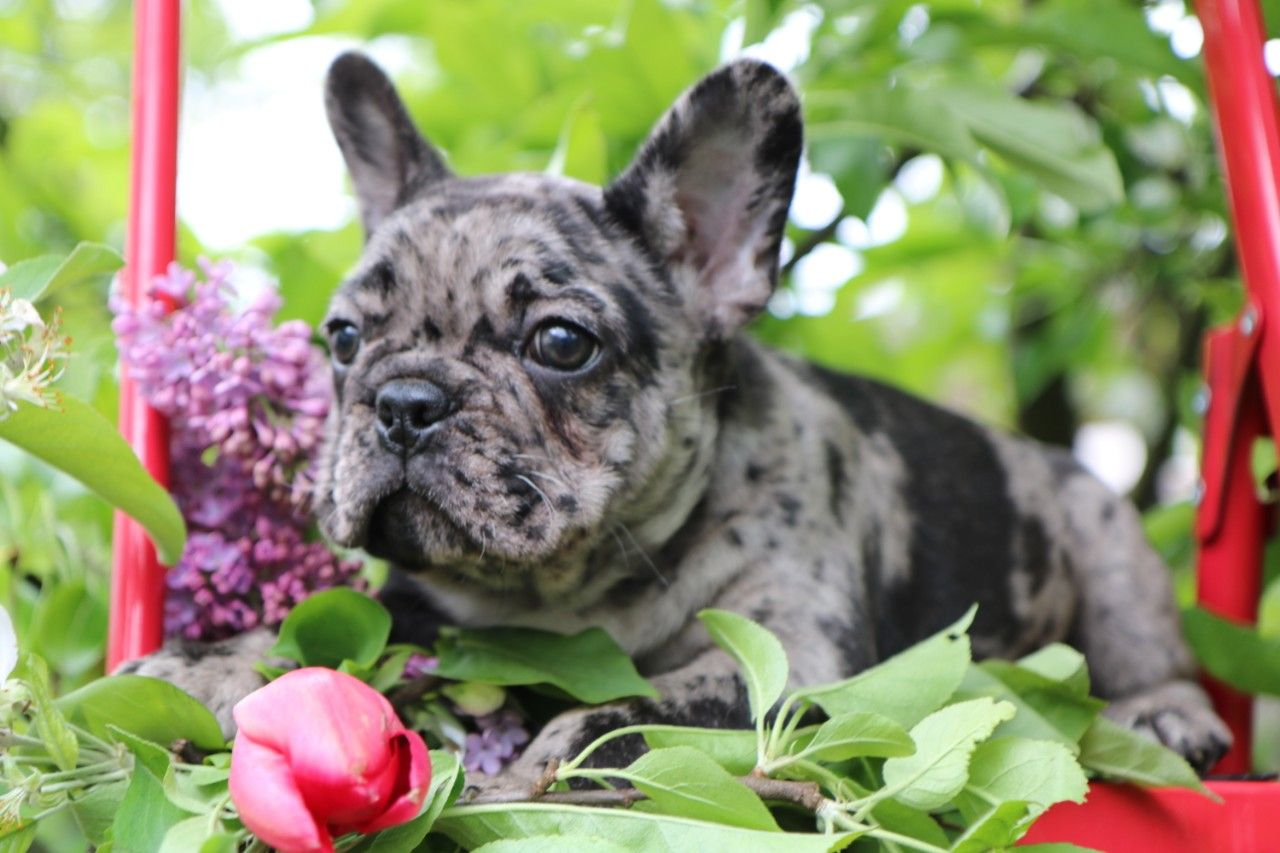 French Bulldog Puppy For Sale Stamford Connecticut Bulldog