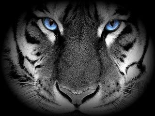 Amazing White Tigers With Blue Eyes Wallpaper Pictures Tattoos