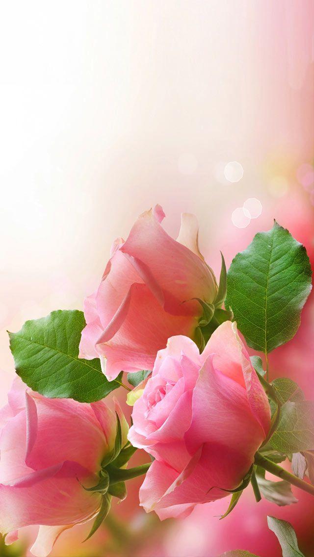 Free Pink Roses Flowers Computer Desktop Wallpaper Pink Roses Flowers Rose