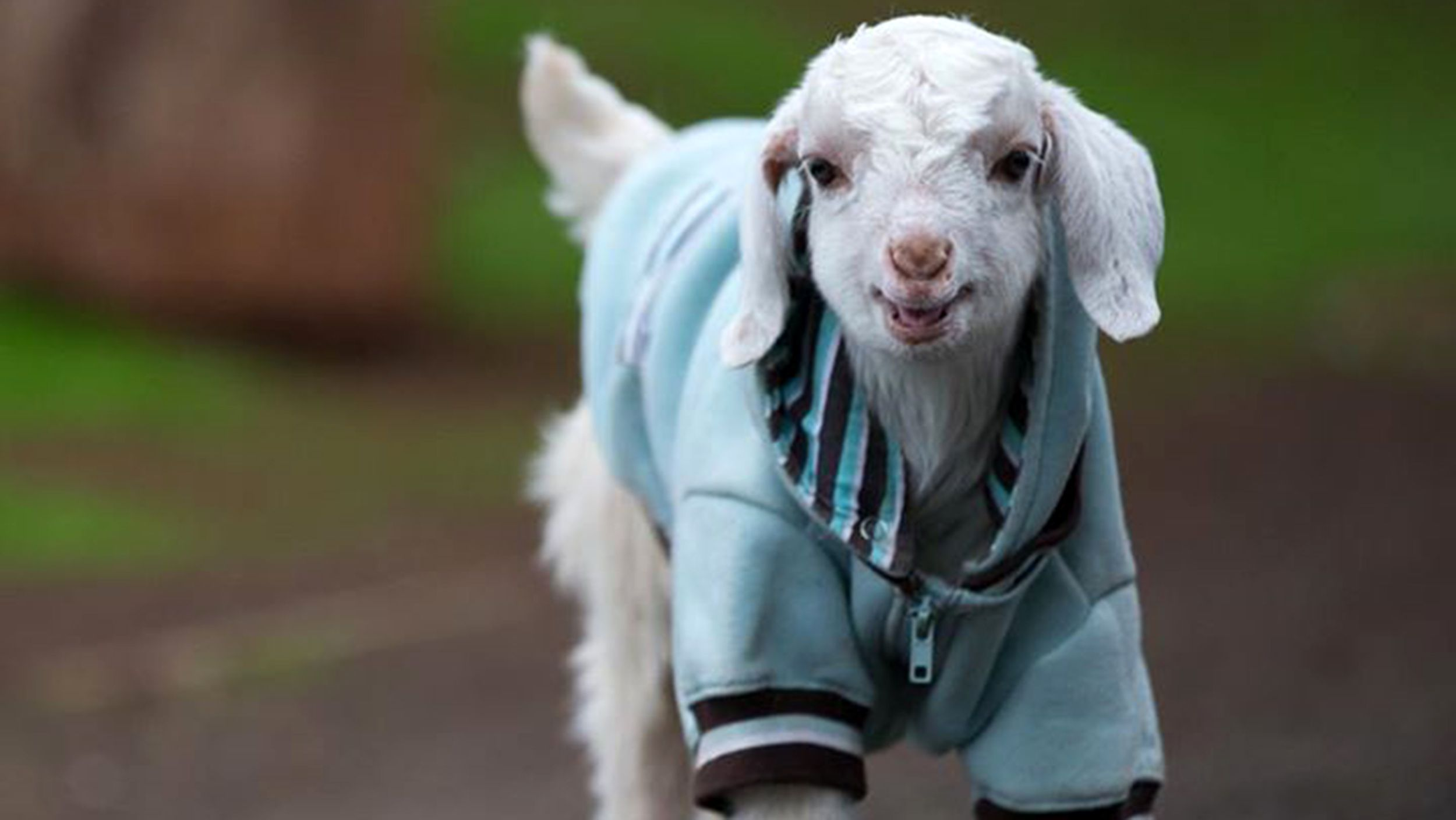Frostie The Goat Learns To Walk Skip And Run Without Wheelchair Baby Goat Pictures Goats Baby Goats