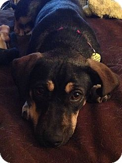 Frederick Md Beagle Chihuahua Mix Meet Evangeline A Dog For