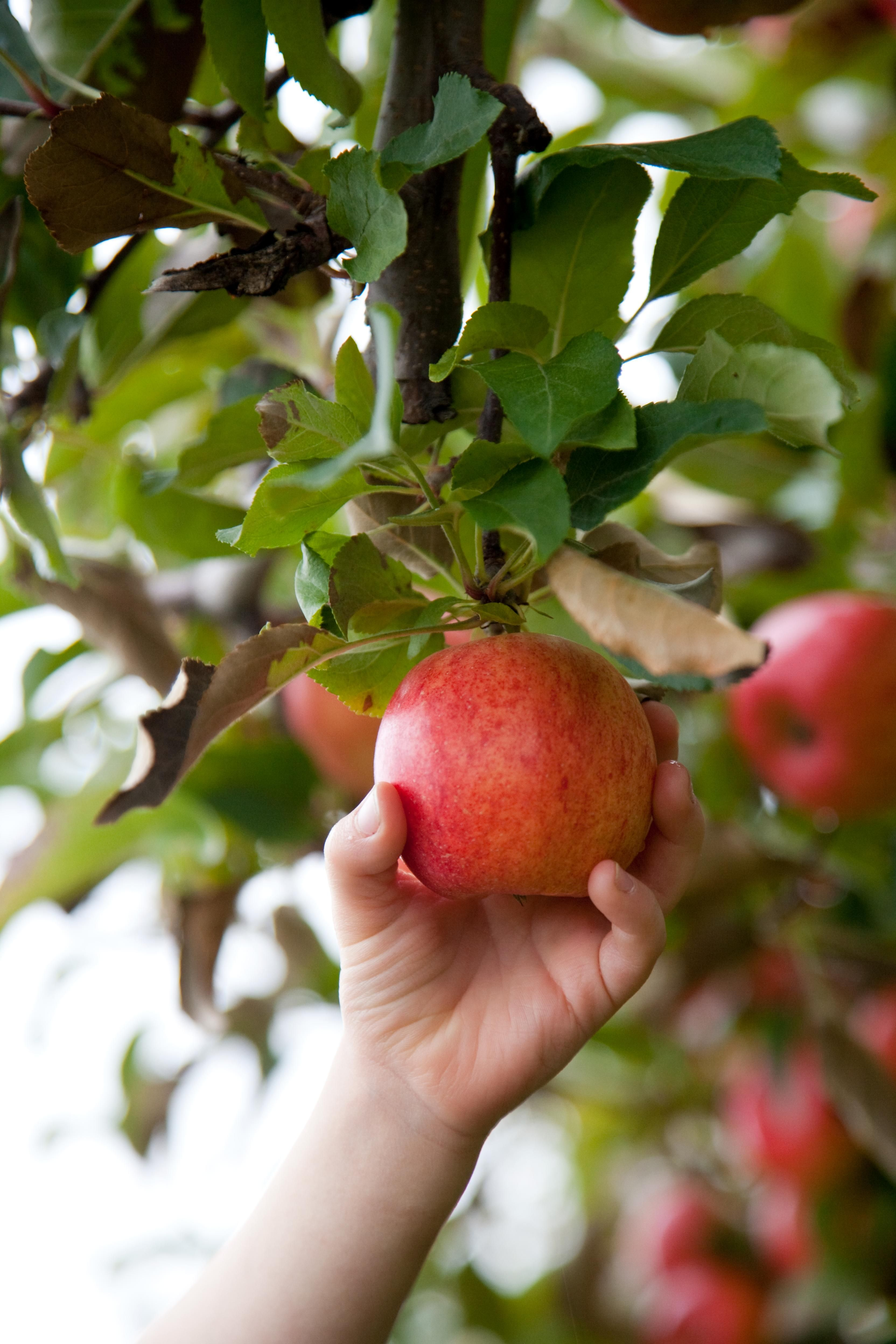 How to Plant Seeds from StoreBought Apples