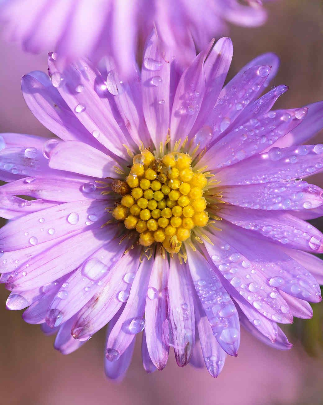 Your Ultimate Guide To Flowering Perennials Which Popular Plants Bloom When Aster Flower Flowers Perennials Bloom