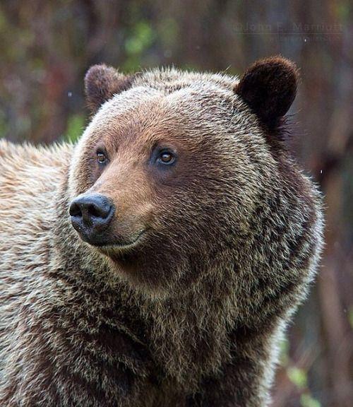 Grizzly BearbyJohn E Marriott