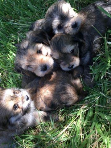 Yorkie Poodle Shih Tzu Puppies For Sale In San Jose California