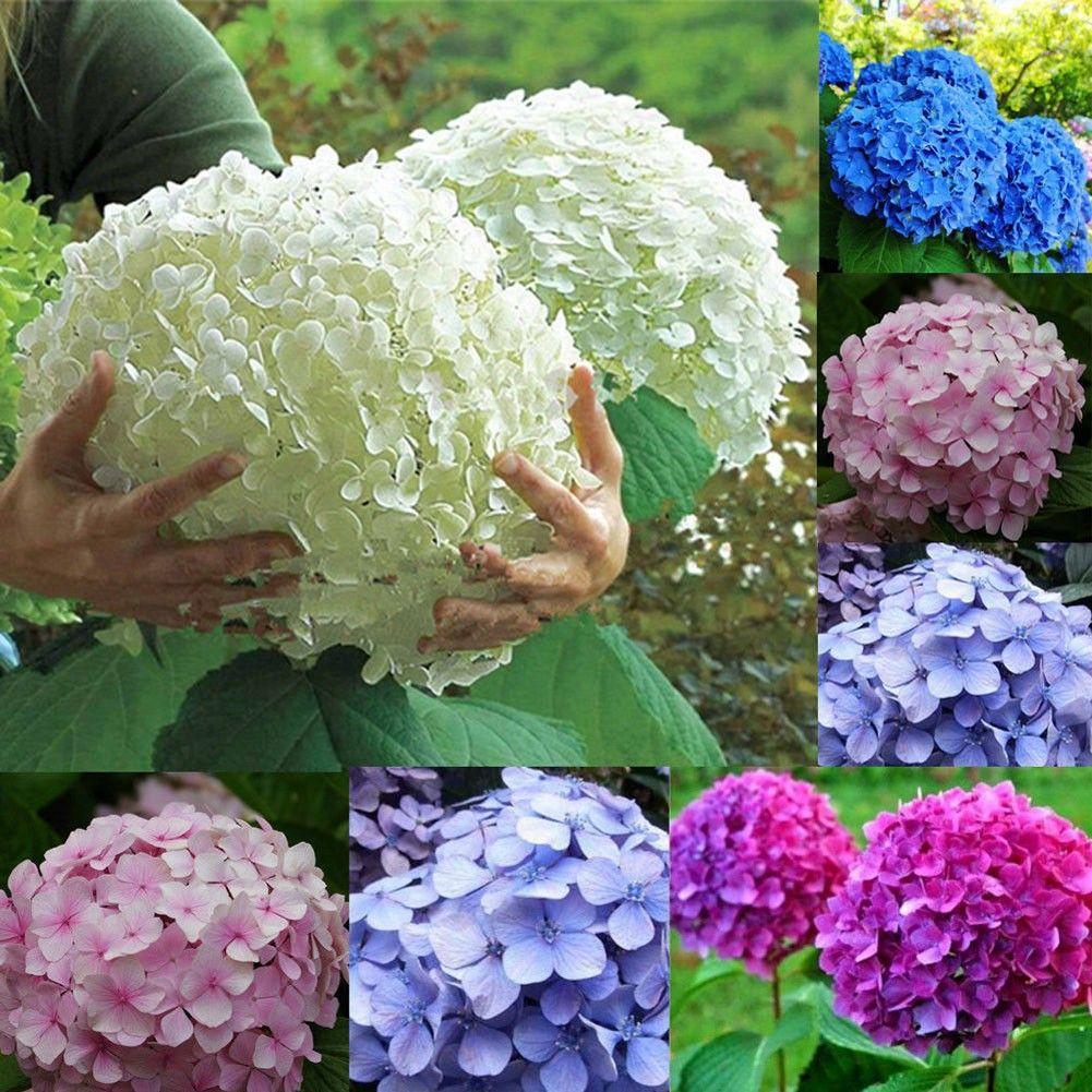 Pin By Dee Schrader On Marian Loves Flower Seeds Hydrangea Seeds Blue Hydrangea Flowers