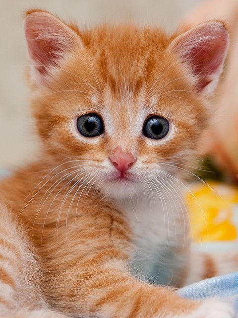 Orange Kitten Awww Adorable Cute Animals Cute Cats Kittens Cutest