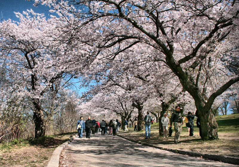 Spring In Toronto Brings The High Park Cherry Blossoms And Much More Hanami Japanese Cherry Tree Park