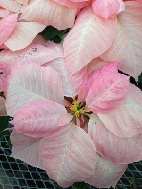 Poinsettia Visions of Grandeur - this is a specialty variety of pink that we grow, it's always a show stopper on display!
