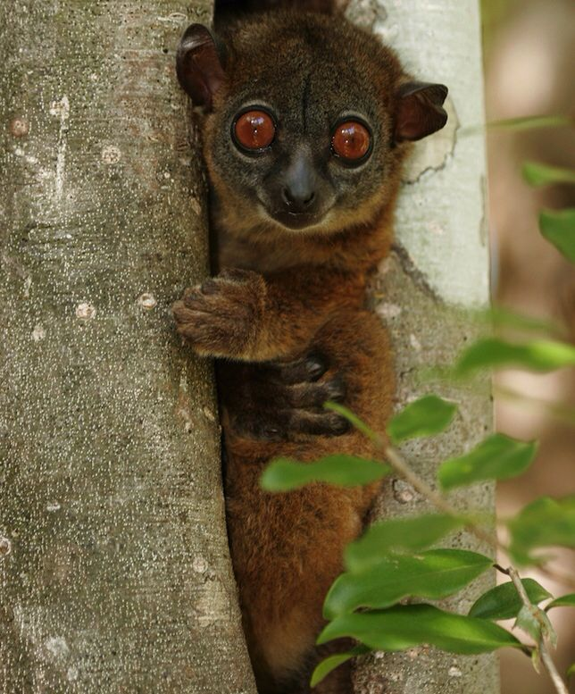 Endangered Bush Baby Top 10 endangered animals