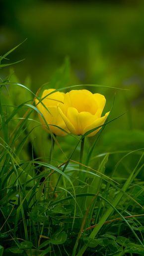 Download 720x1280 wallpaper Grass, yellow tulips, bloom, Samsung Galaxy mini S3, S5, Neo, Alpha, Sony Xperia Compact Z1, Z2, Z3, ASUS Zenfone, 720x1280 hd image, background, 7469
