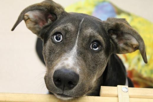 Adopt Edison On Humane Society Dogs Siberian Husky Mix
