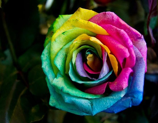 Heavenletters All The Colors Of The Rainbow Rose Seeds Rainbow Roses Rose