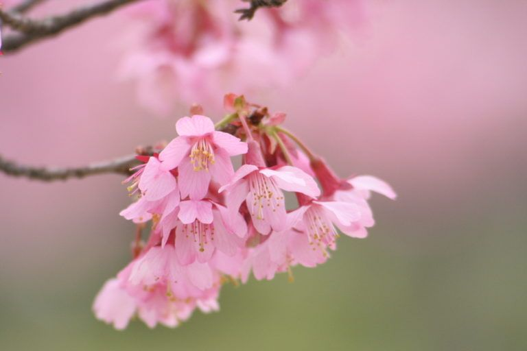 Why You Need Inner Peace Types Of Cherries Cherry Blossom Blossom