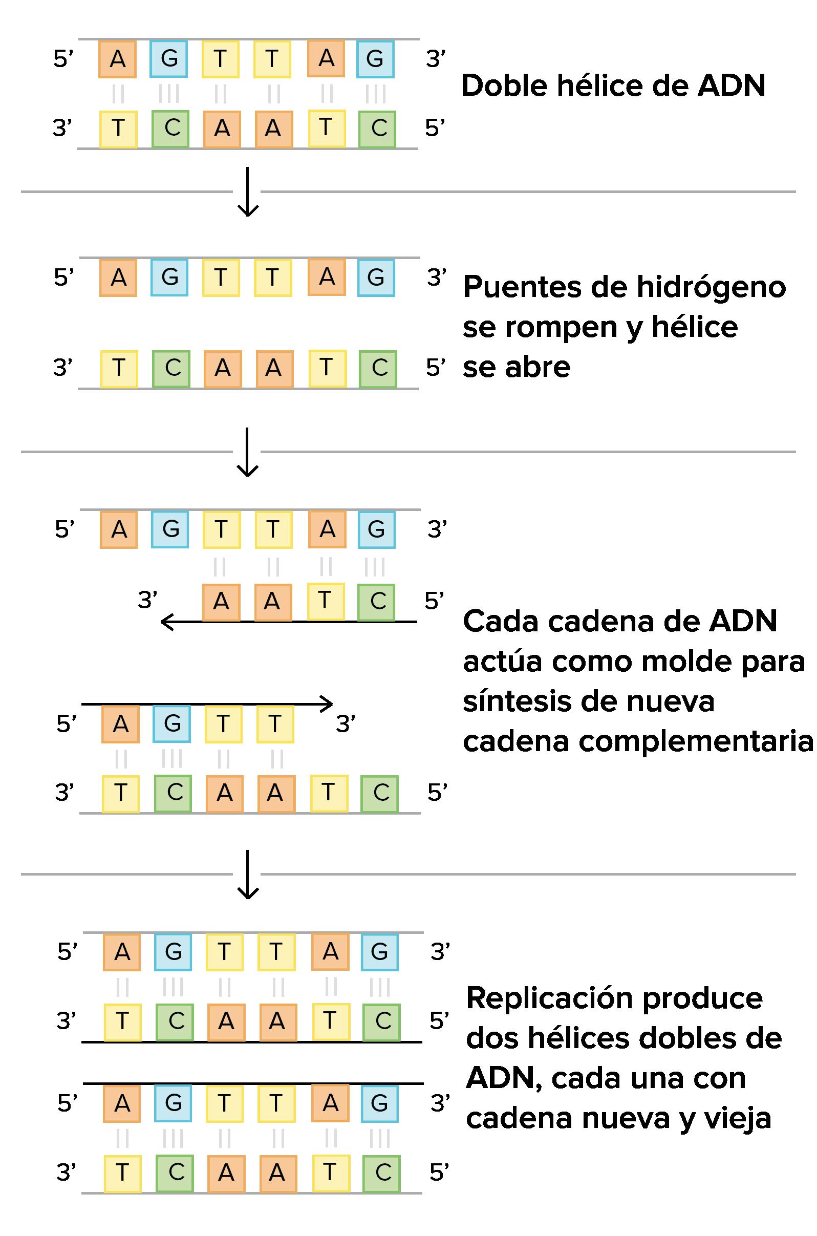 Mecanismos moleculares de la replicación del ADN (artículo