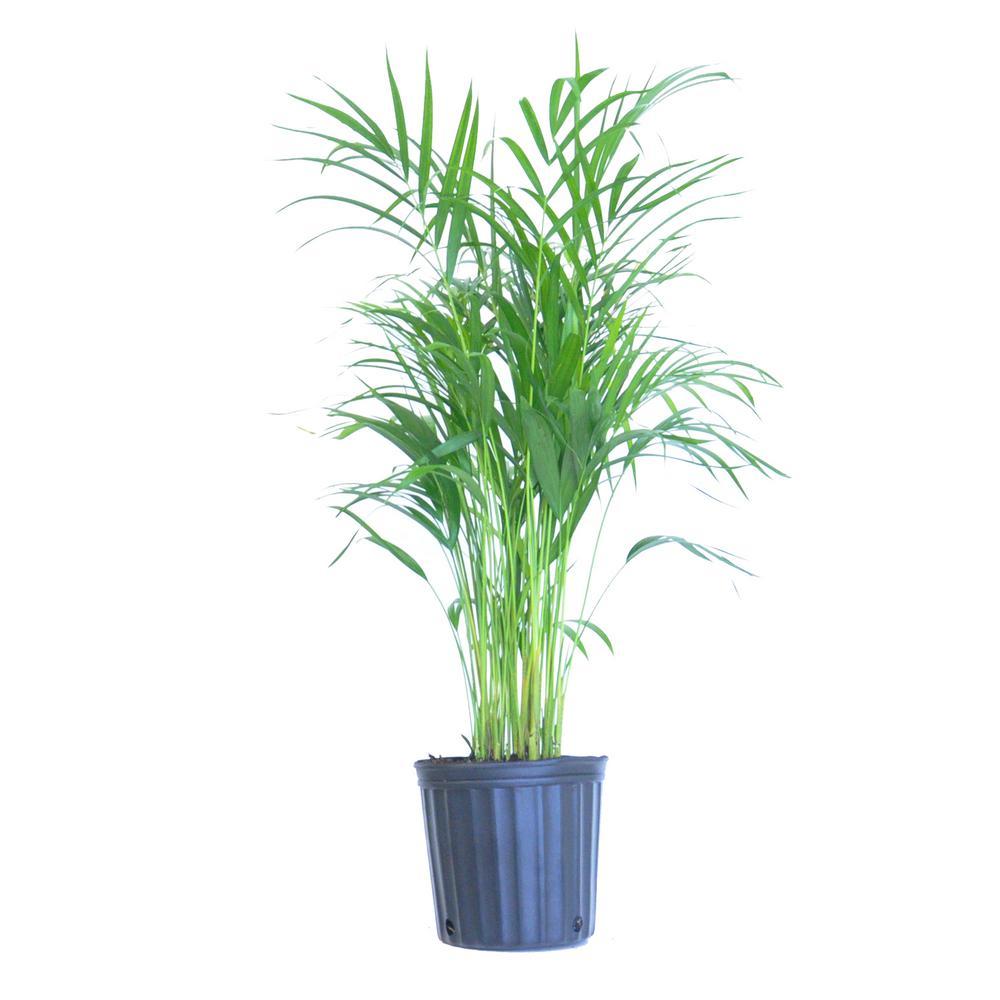 Raphis Excelsa Lady S Fingers Palm Ambius Australia Plants Palm Indoor Plants