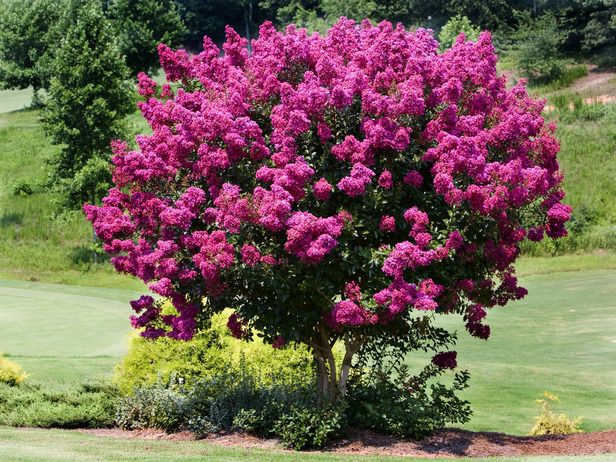 Plants That Bloom In Summer Home Improvement Diy Network Fast Growing Trees Myrtle Tree Flowering Trees