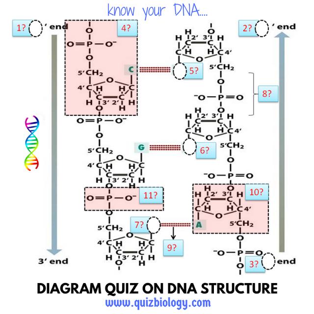 Dna Structure Diagram Quiz  A Close Look At Dna