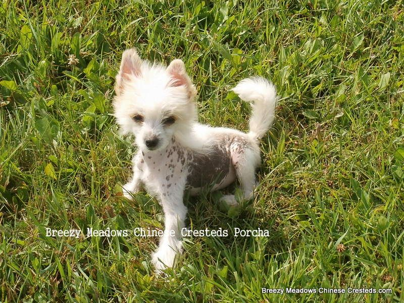 Chinese Crested - apricot spotted puppy  www.breezymeadowschinesecresteds.com