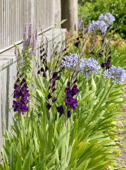 Image Result For What To Plant With Agapanthus Plants Companion Planting Spring Garden