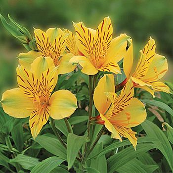 Bright Yellow Alstroemeria Flower Fiftyflowers Com Alstroemeria Purple Flowers Wallpaper Yellow Flowers