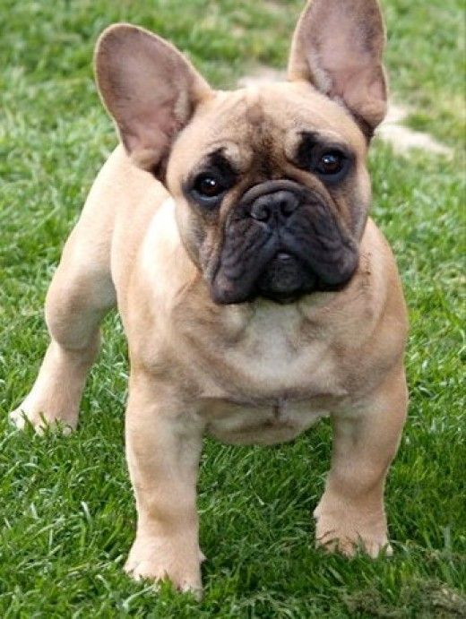 The Top 10 Best Apartment Dogs Make Sure To Talk Leasing Office Before Adopting Buldog Bulldog