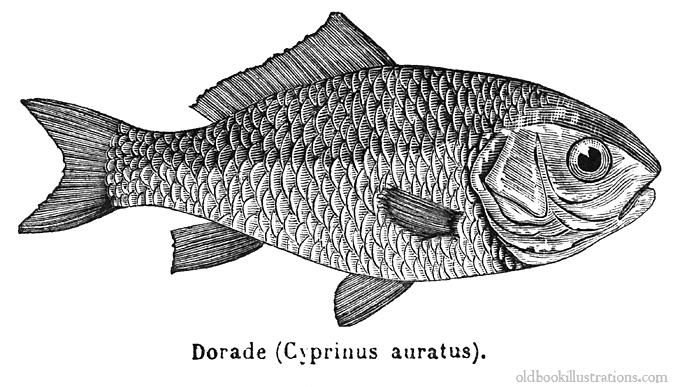 This Picture Was Taken From Dictionnaire Encyclopedique Trousset Also Known As The Trousset Encyclopedia Paris 1886 Fish Illustration Fish Drawings Goldfish