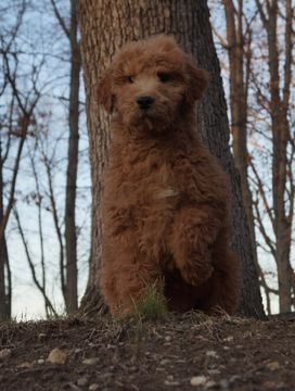 Goldendoodle Puppy For Sale In Warsaw In Adn 69612 On