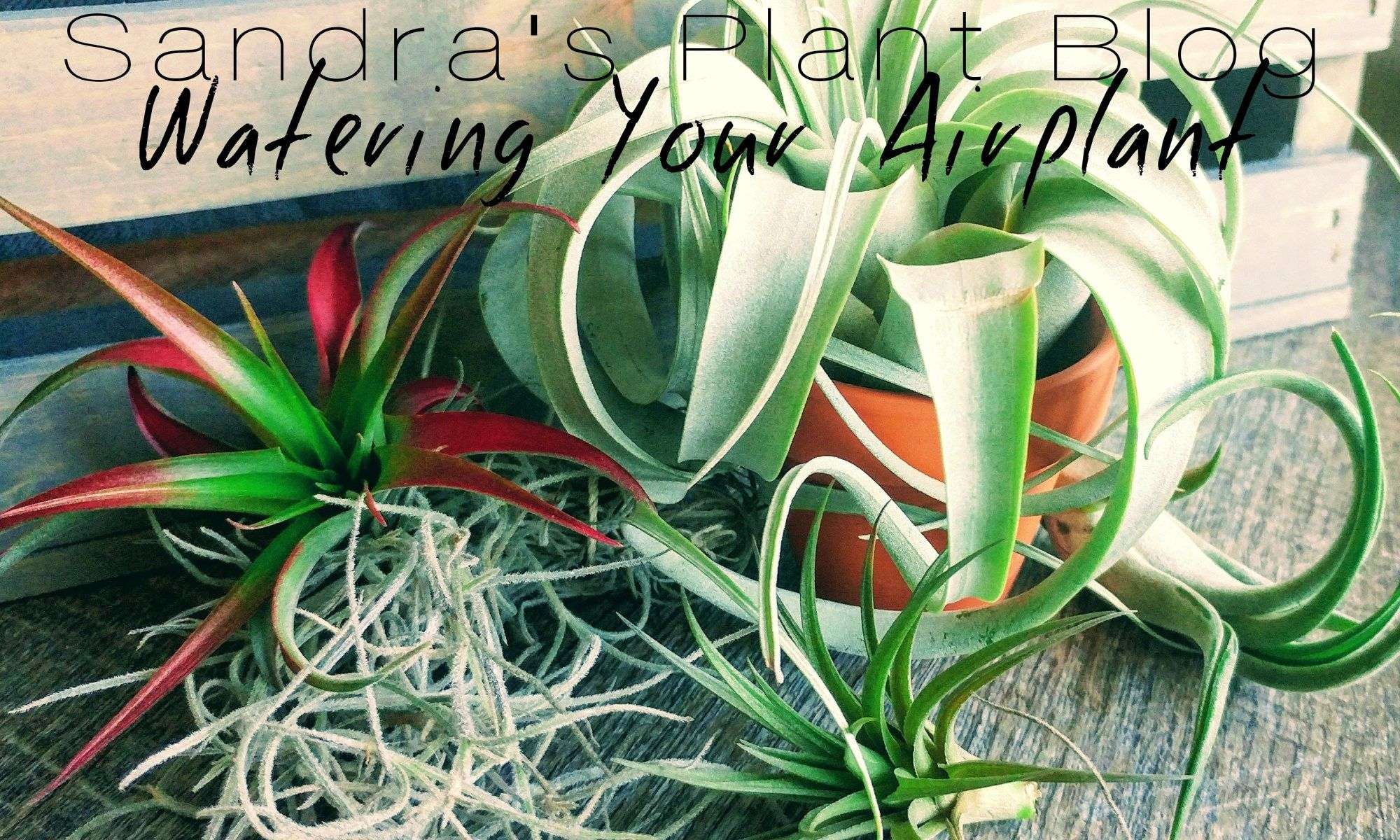 Watering your airplant Plant problems, Plants, Air plants