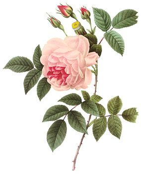Beautiful Pink Roses Victorian Antique di DownloadInspiration
