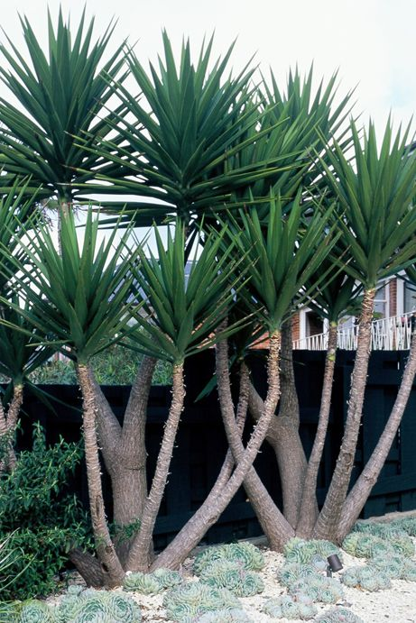 Striking trunks and architectural sharpness of the foliage for Garden trees types