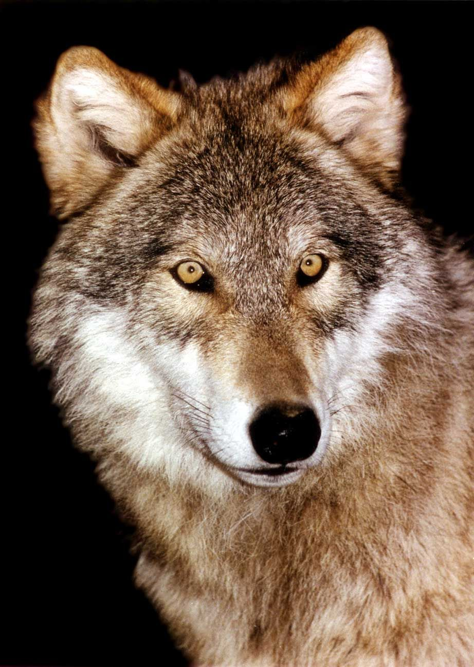 Pin By Brian Miller On Wolf Pinterest Lobos Perros Bonitos And