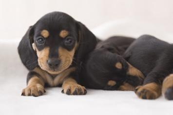 Facts About Miniature Dachshund Puppies Dachshund Puppy