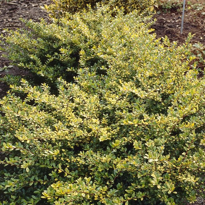 Ilex Crenata Golden Gem 1 Shrub Buy Online Order Yours Now