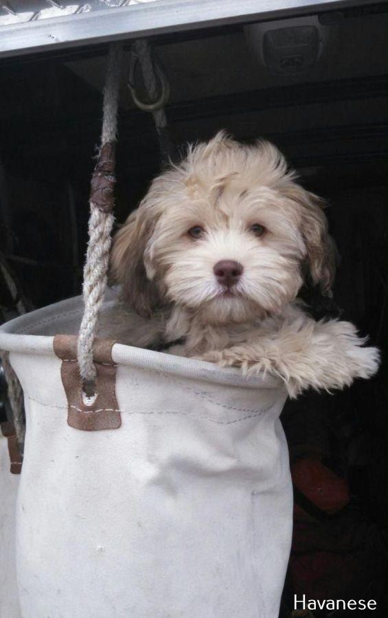 Havanese Intelligent And Funny In 2020 Hunde Hunde Welpen Kleine Hunde