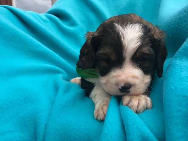 Miniature Bernedoodle Puppy For Sale In East Earl Pa Adn 31873 On Puppyfinder Com Gender Male Age 5 Weeks O Bernedoodle Puppy Puppies For Sale Bernedoodle