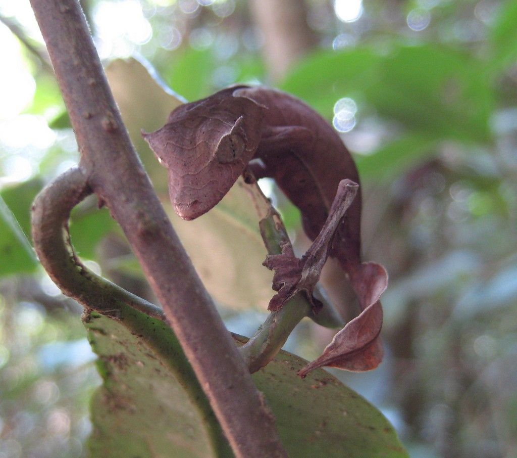 Lizards The Leaf Tailed Gecko