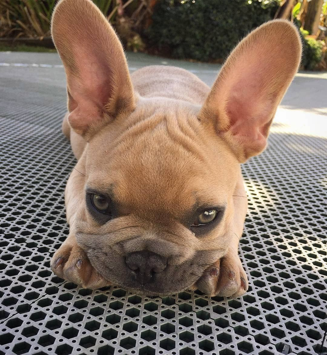 Pin By Cherline Lee On Cute French Bulldog Puppies French