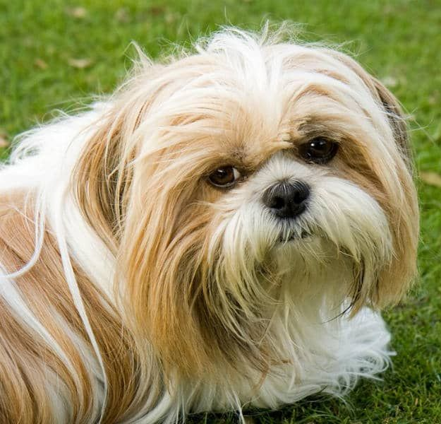 Shih Tzu Dogs Puppies Shih Tzu Dog Toy Dog Breeds Shih Tzu Puppy