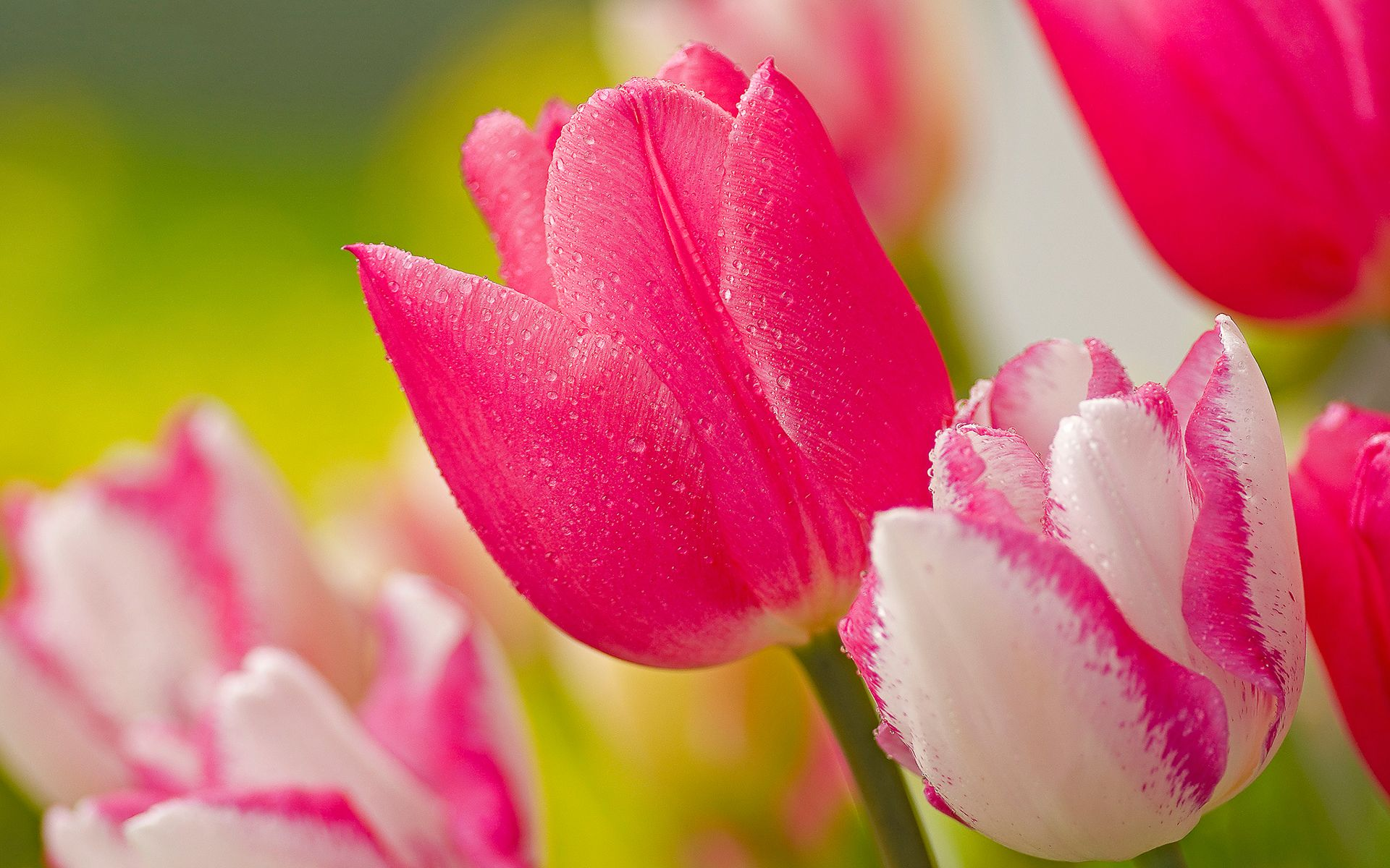 Pink Tulips Flower Wallpapers Pictures Photos Images Spring Has