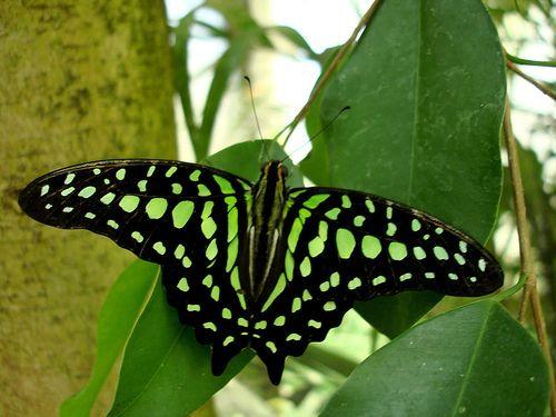 Green #Butterfly | #Butterflies | #Moths