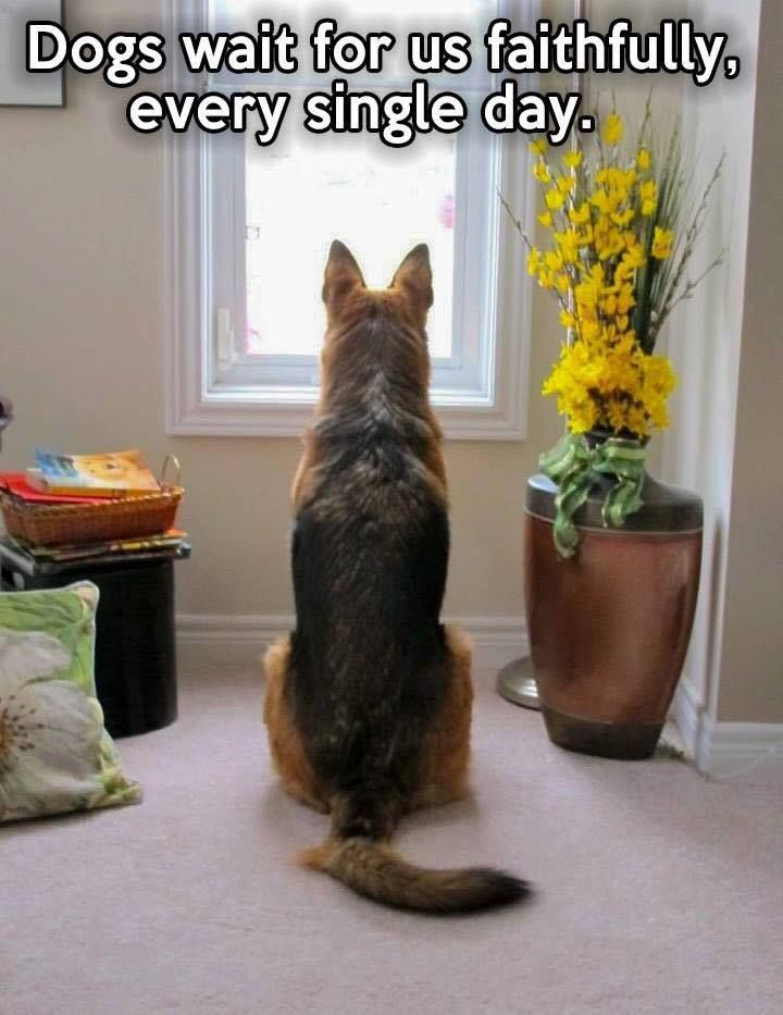 The German Shepherd Dog.jpg (720×933)