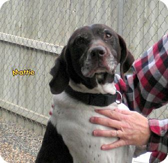 Iowa Mattie Id A21633305 Is A 7yo German Shorthaired Pointer In Need Of A Loving Adopter